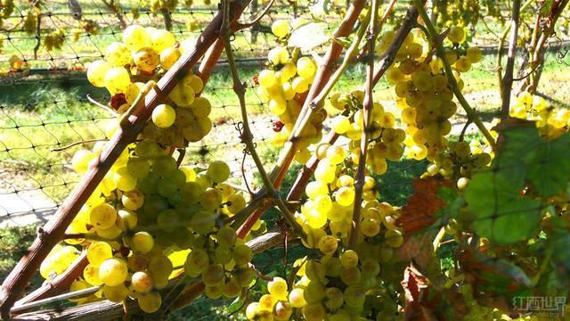 挑选白葡萄酒也要看年份