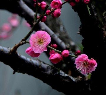 静安雕塑公园的梅花