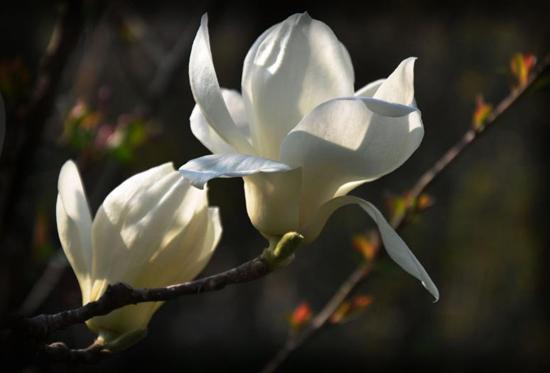 申城气温变化大 几棵白玉兰树上居然开花了