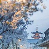 上海周边美到炸裂的赏樱地