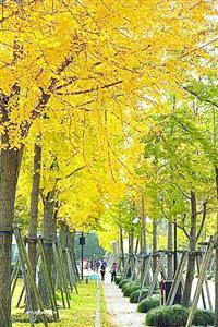 银杏黄了 沪上29条道路最快明天开始保留落叶