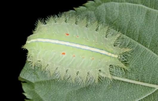 美丽的落叶季节 上海的有毒毛毛虫不能掉以轻心