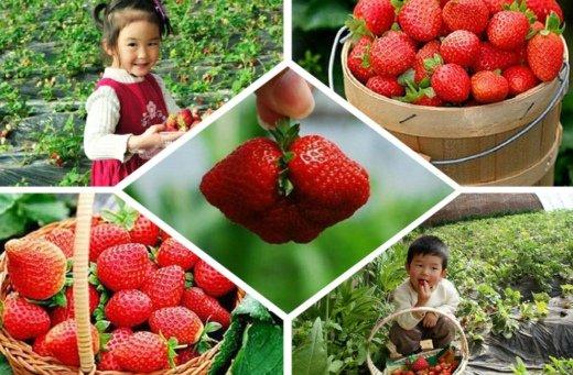 """上海草莓""""好吃季""""提前 个头大甜度高"""