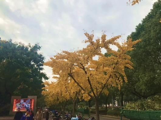 """美呆了!上海这些地方又现银杏叶""""金光大道"""""""