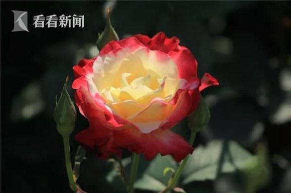 立夏季月季花正艳 长风公园月季展揭幕