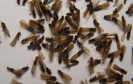 白蚁繁殖旺不再忧心 三大妙招速除隐患图片