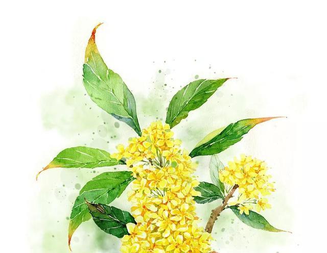 桂枝花_朱国福解释,俗称的桂枝并非桂花的枝而是肉桂的枝,两者是不同的.