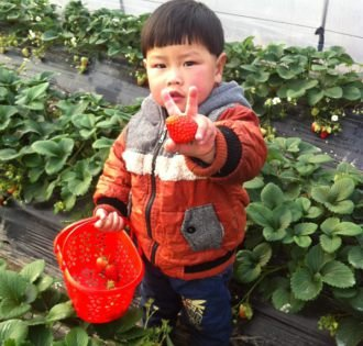 崇明西沙湿地摘草莓:酸甜鲜滋味