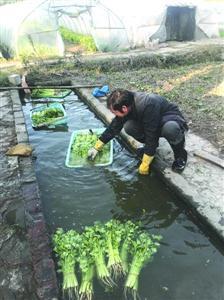 菜农用水槽脏水浸洗采摘后蔬菜 专家表示有安全隐患