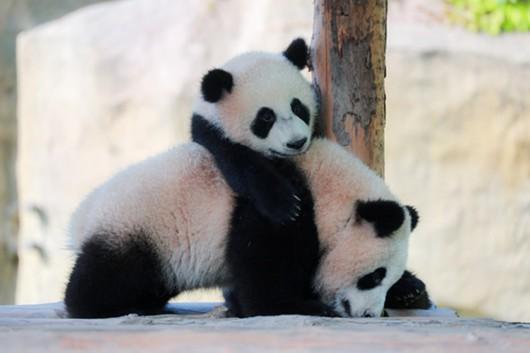 熊猫宝宝正卖萌 上海野生动物园开启小动物欢乐节