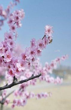 辰山植物园美人梅亮相