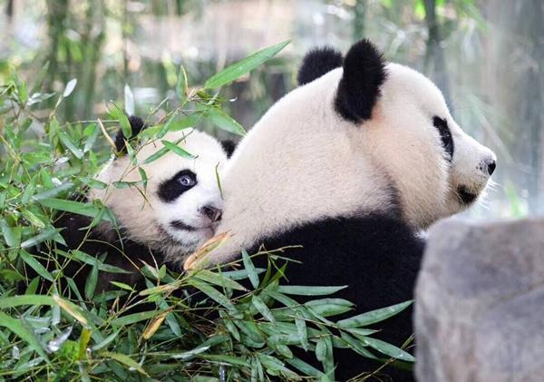 大熊猫保护研究中心上海基地新增宝宝 有名字了