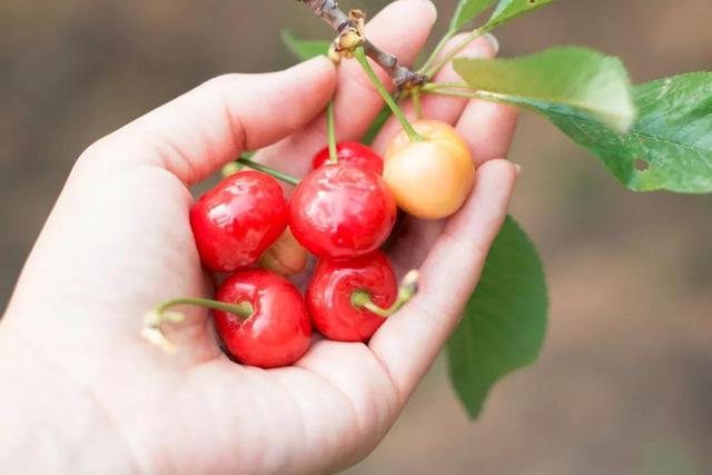樱桃,得正阳之气,若能吃不上火,必补元气