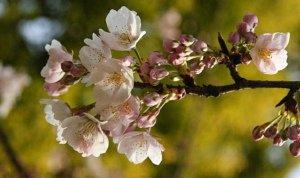 静安雕塑公园 要赏樱花的请进来