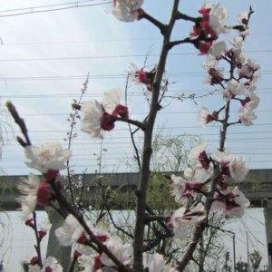 嘉定新城里新发现--樱花(胜辛路、宝塔路东)