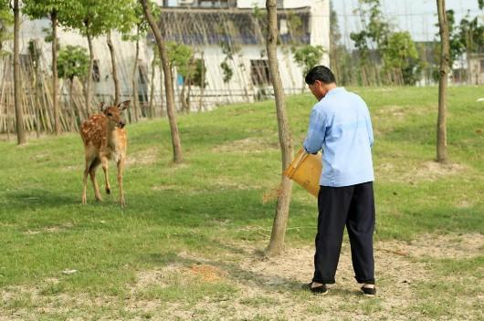 """梅花鹿再现""""茸城""""松江 隐于上海乡间已有好几年"""