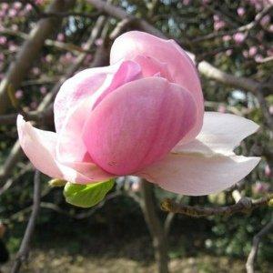 那些年我赏的樱花
