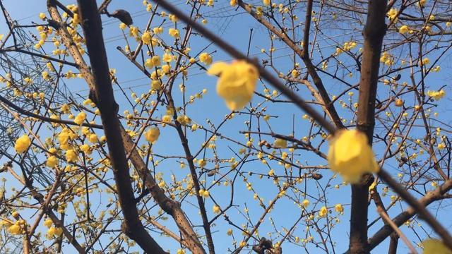 上海各公园1月花展与活动指南 你更喜欢哪一个
