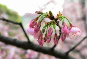 静安雕塑公园的樱花已经开放了