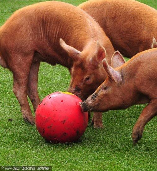 """组图:""""猪小贝""""现英国 动物""""踢""""球也疯狂"""