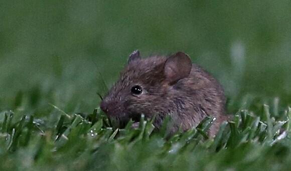 鼠患竟成曼联头号难题 食堂+梦剧场老鼠横行