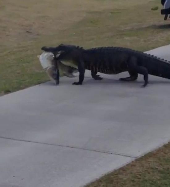 美鳄鱼口衔肥鱼横穿高尔夫球场 吃瓜群众看呆