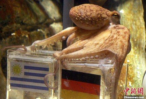 章鱼保罗世界杯预测七连中 乌拉圭抗争纯属徒劳