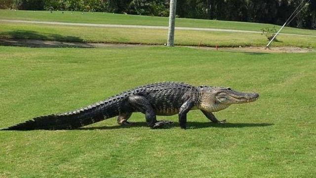 【果岭汇】高球场趣事 鳄鱼成群+裸奔辣眼睛