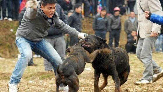 港媒 斗狗猖獗揭露人性残忍愚昧一面图片