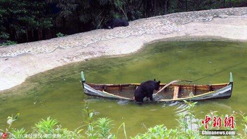 重庆一野生动物园黑熊湖中划船 有模有样