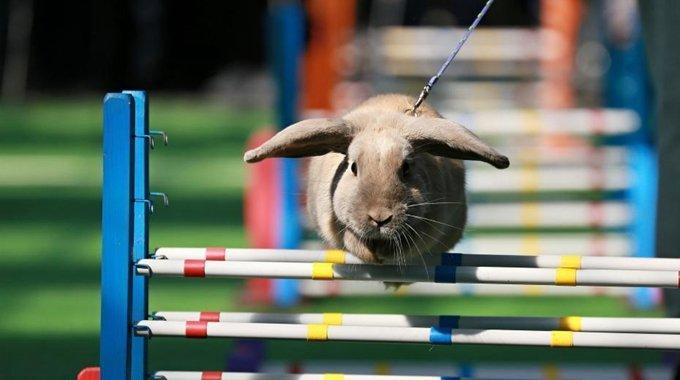"""兔子参加田径比赛 挑战""""跨栏""""萌翻全场"""