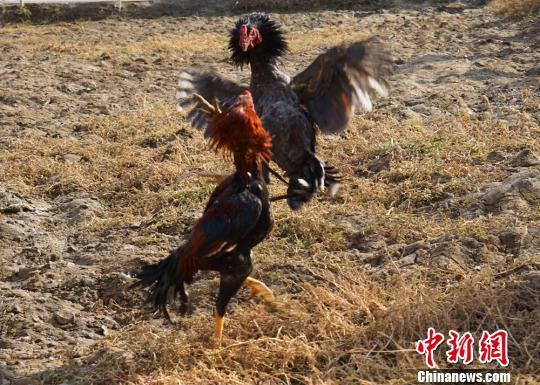 新疆农民上阵冬季趣味v农民斗鸡斗羊齐举办新东方电子竞技怎么去