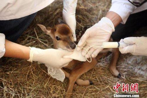 台湾赠送大陆的梅花鹿所生鹿宝宝开始吸母乳