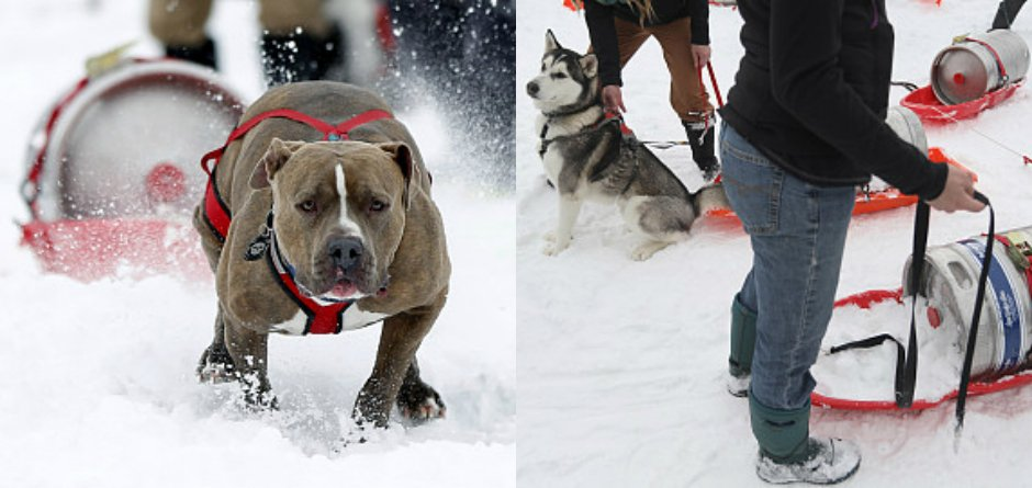 社区-汪星人雪橇挑战赛 二哈展现强劲实力