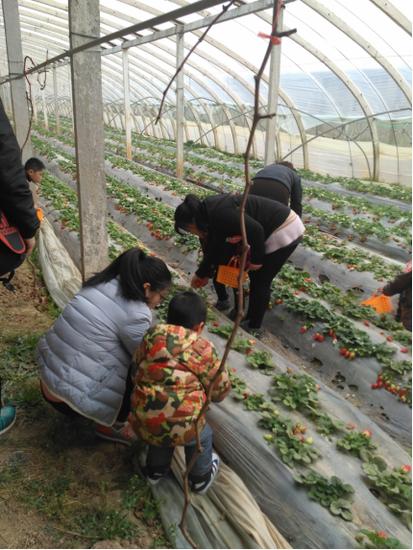 恒大翡翠华庭:草莓园采摘活动,欢乐落幕!