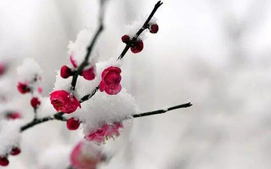 梅花林雪景图片
