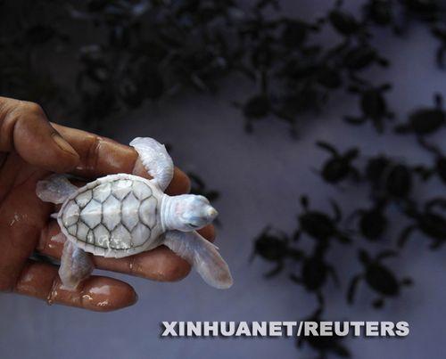 白化变种绿海龟现身泰国南部小岛(组图)