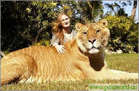 解读狮虎兽密码:悲剧,从老虎爱上狮子开始 - 雨星 - 雨星