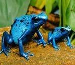 妖艳毒蛙能杀死10个男人