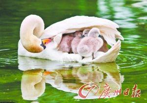 """天鹅妈妈撑起母爱""""伞""""罩住6只小天鹅(图)"""