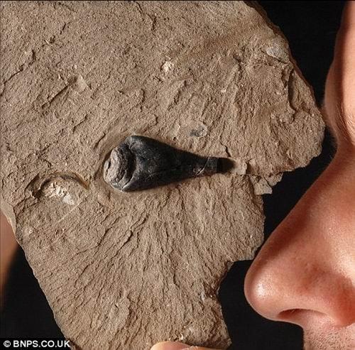 科学家发现亿年前乌贼化石 墨囊仍可提取墨汁