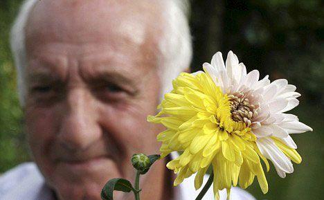 英国老汉种出双色菊花 或是基因突变所致(图)