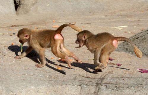 德国动物园小狒狒成明星 调皮捣蛋乐坏游客