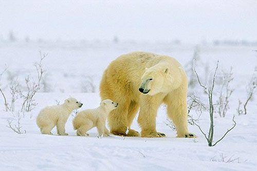 科学家称气候变化和污染导致北极熊变小(图)