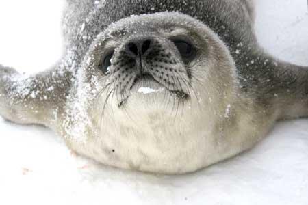 组图:南极长城站科考队员拍到海豹产子