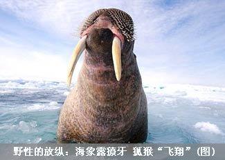 野性的放纵:海象露獠牙