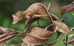 伪装大师:魔鬼壁虎可以逼真模拟枯树叶