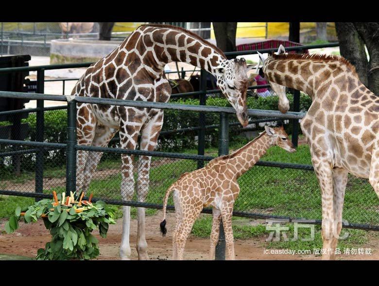 """组图:野生动物园长颈鹿""""姐弟恋""""诞下千金"""