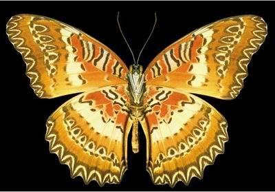 世上八大最奇特蝴蝶 - lzj4218 - lzj4218的博客