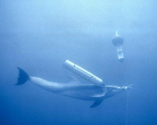 """美国""""海豹特战队"""":海洋动物执行水下任务"""